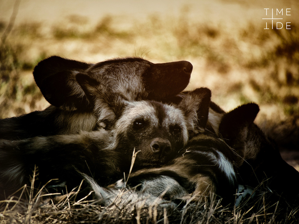 Painted wolves, wild dogs, sleeping in South Luangwa