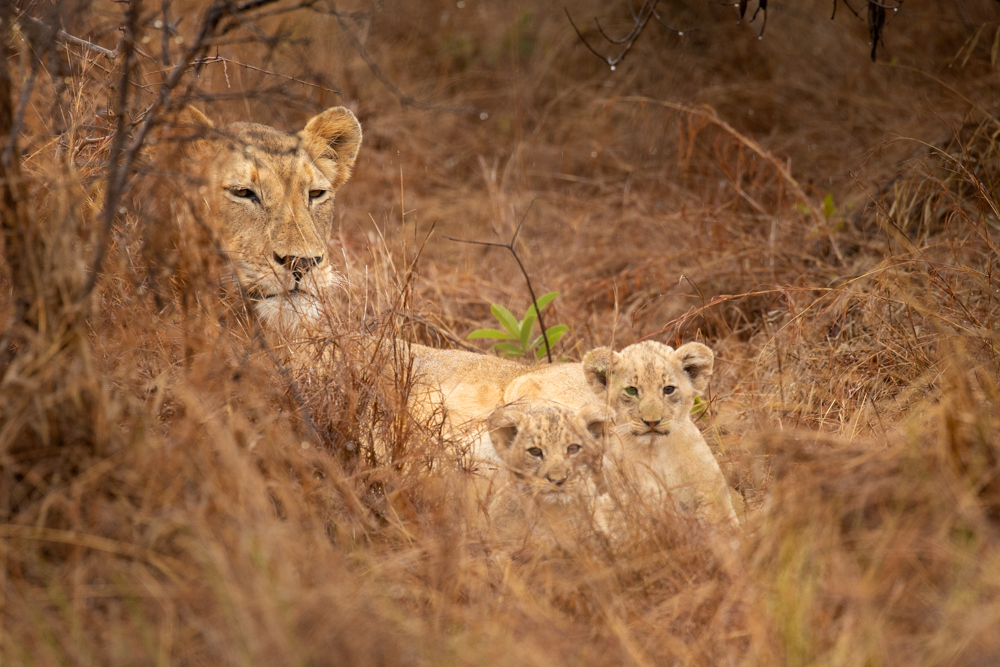 Lioness with two cubs in Akagera National Park, Rwanda