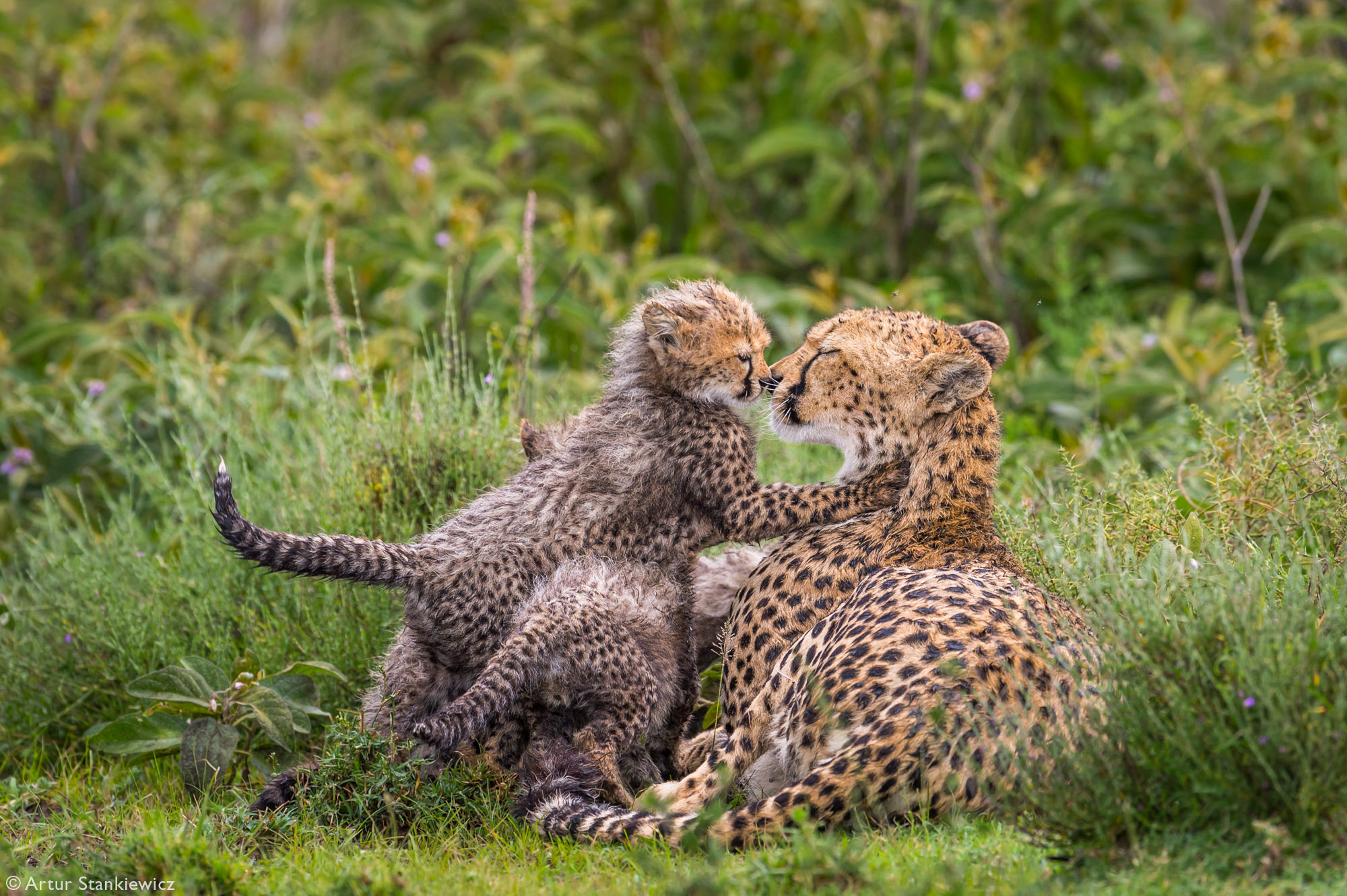 A cheetah mother with her cubs after heavy rains in Lake Ndutu, Ngorongoro Conservation Area, Tanzania
