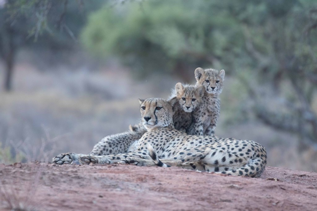 Cheetah mother with two cubs in Kalahari, South Africa