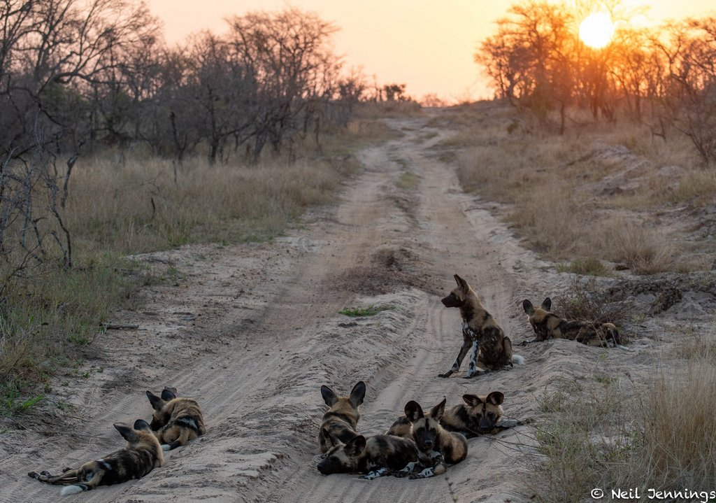African wild dogs, or painted wolves, resting