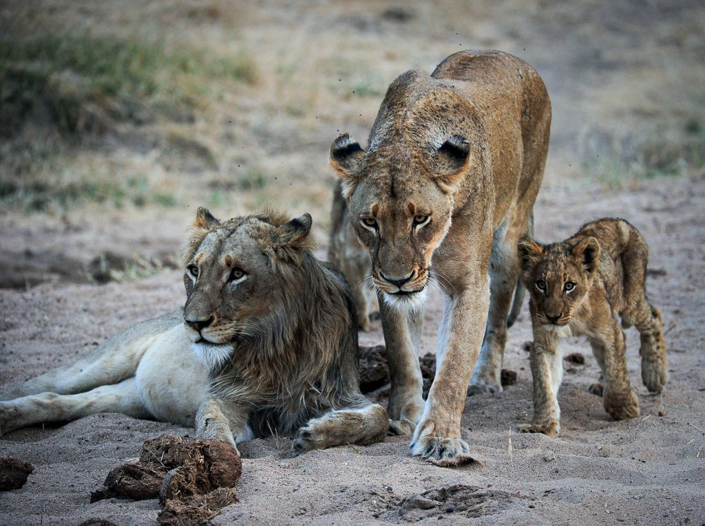 Lions in Greater Kruger