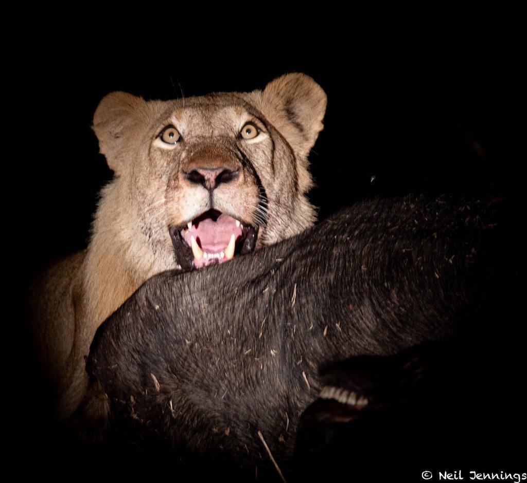 Lion with buffalo carcass