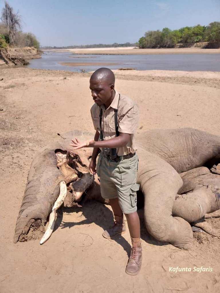 Guide inspecting carcass of elephant with dead crocodile underneath, South Luangwa, Zambia