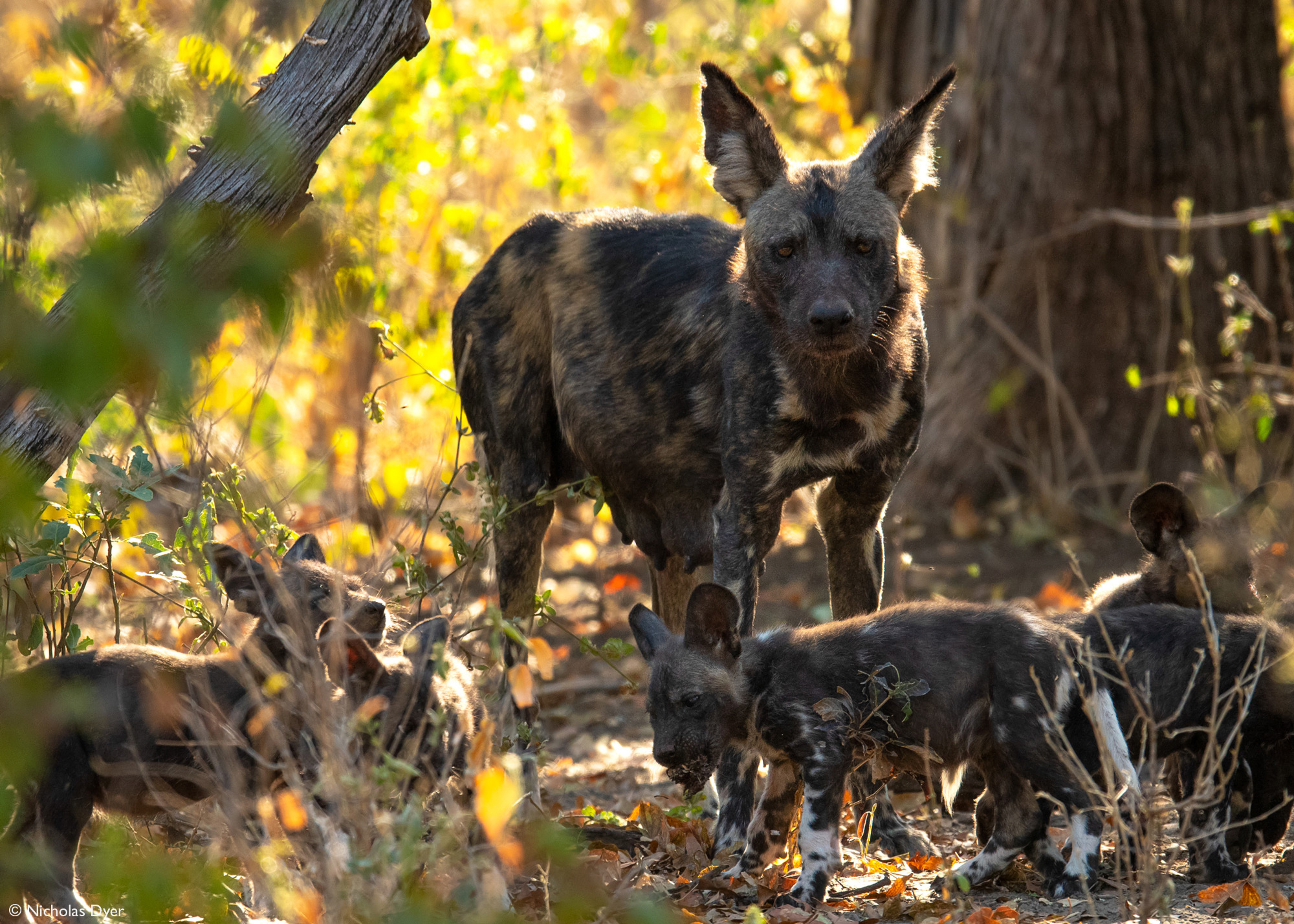 African wild dog, painted wolf, Blacktip with puppies in Mana Pools National Park, Zimbabwe
