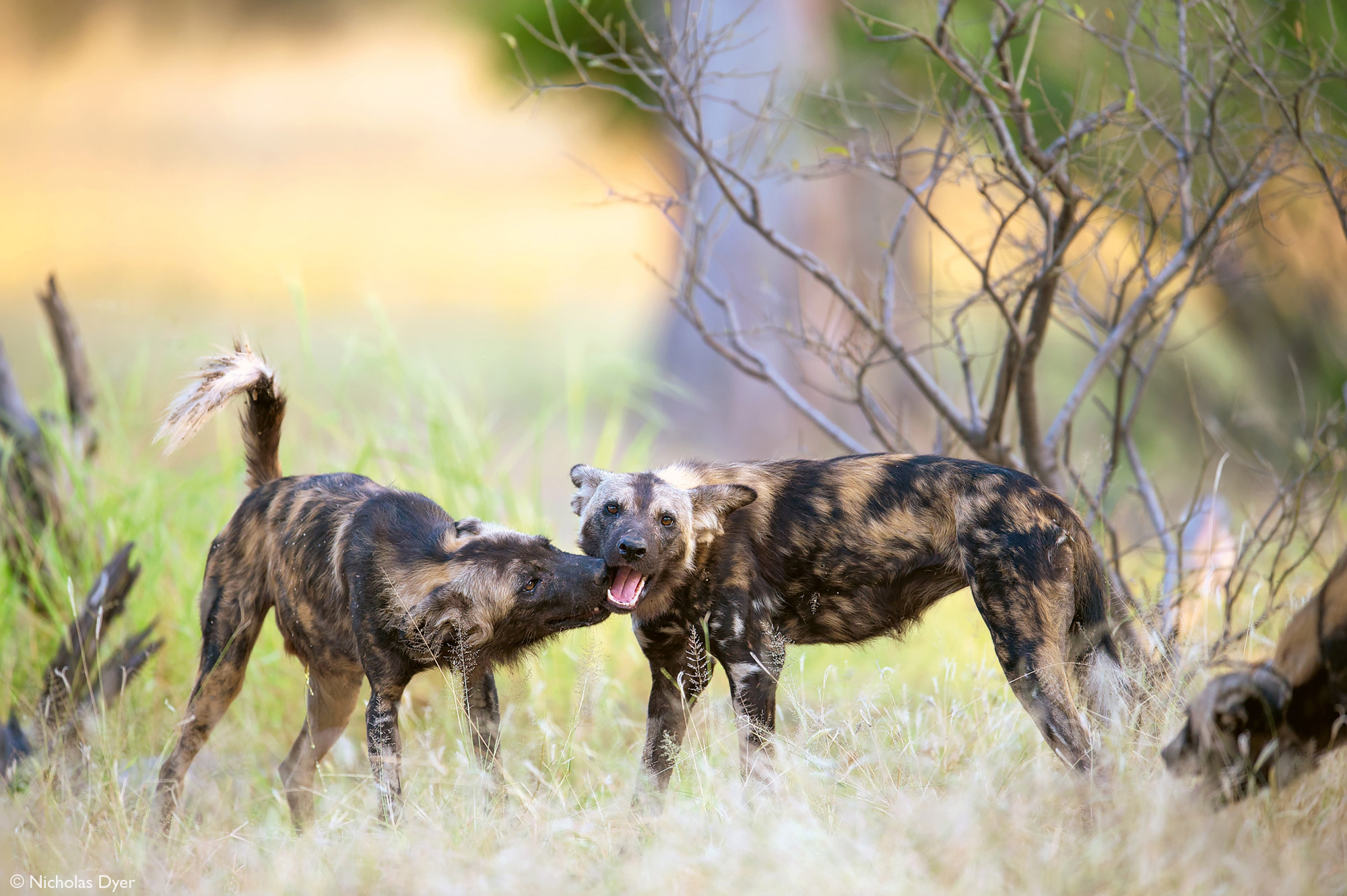 Two painted wolves, African wild dogs, in Mana Pools National Park, Zimbabwe
