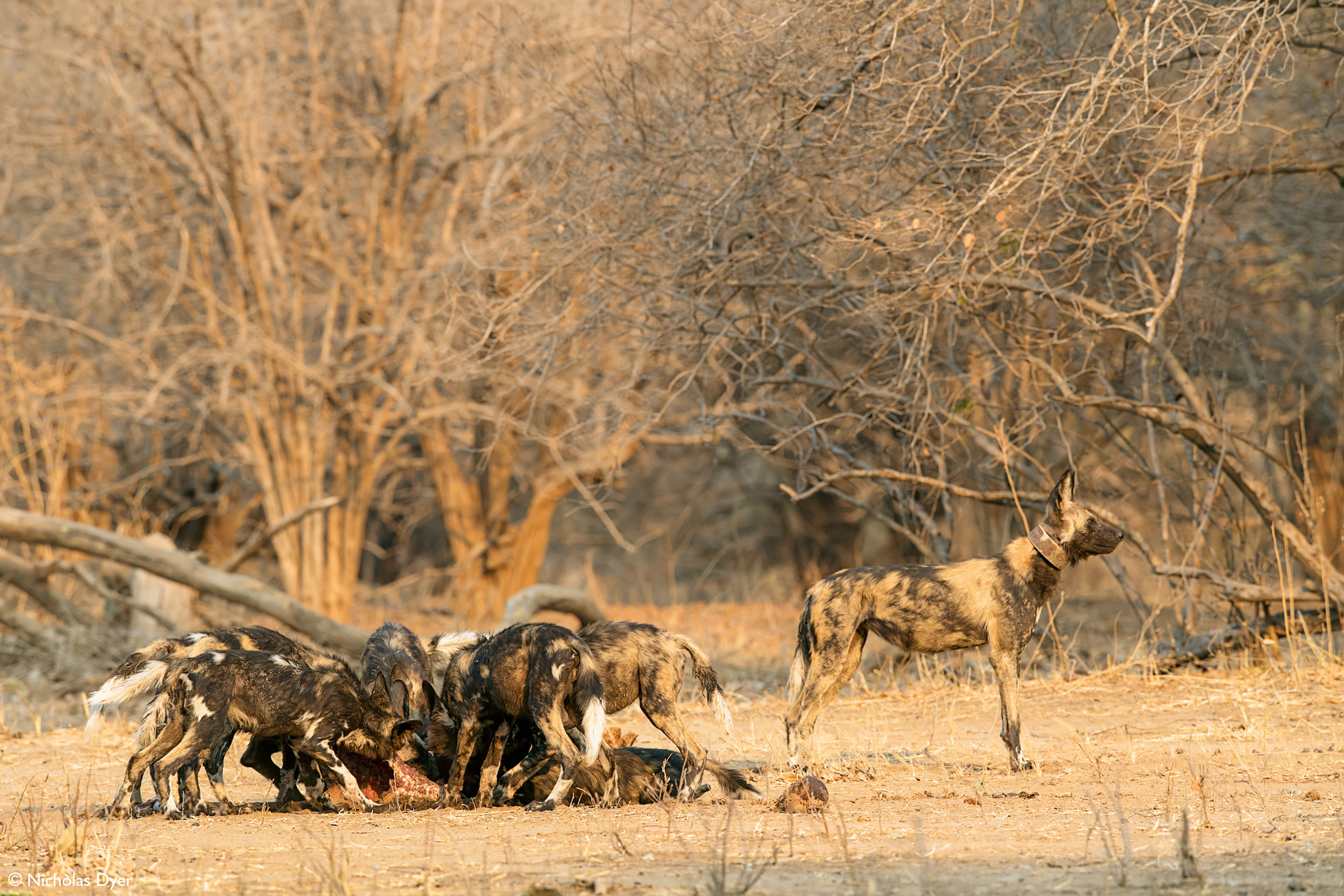Painted wolves, African wild dogs, eating in Mana Pools National Park, Zimbabwe