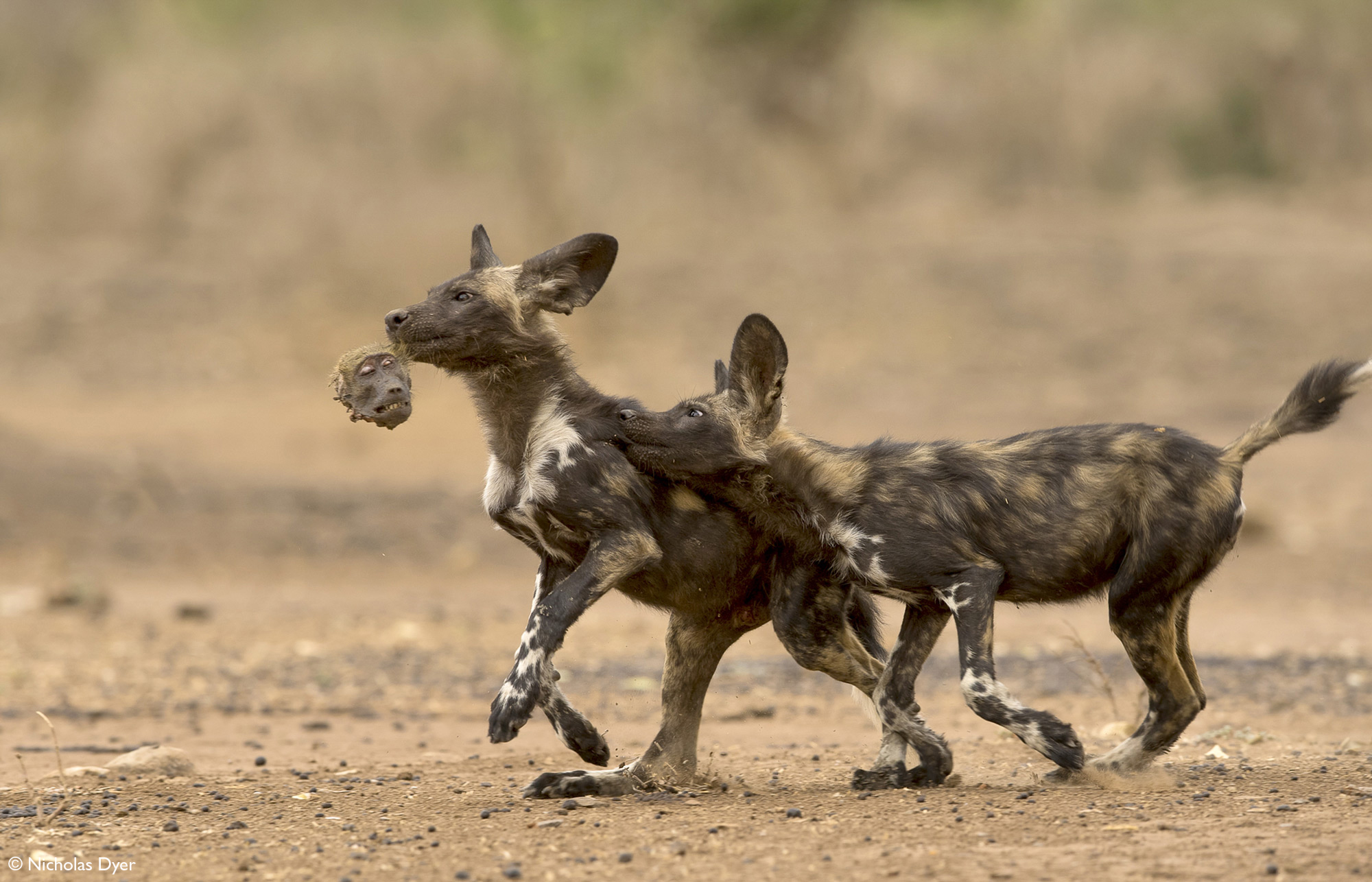 Painted wolves, African wild dogs, running with baboon head in Mana Pools National Park, Zimbabwe