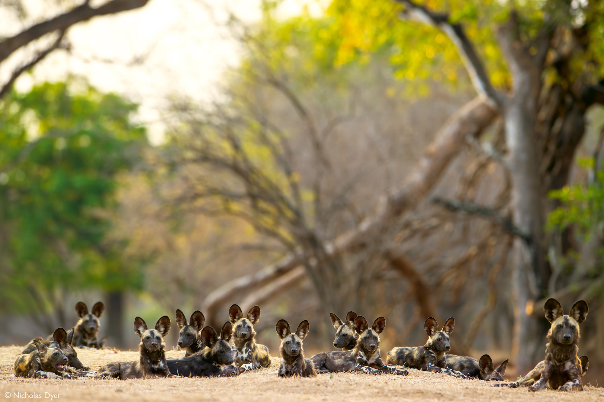 Painted wolves, African wild dogs, sitting in a group in Mana Pools National Park, Zimbabwe