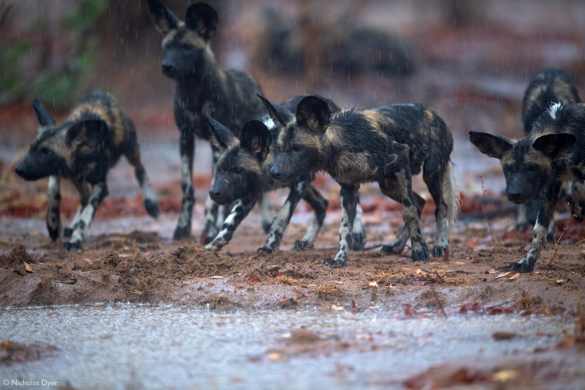 Painted wolf pups, African wild dog pups, in the rain in Mana Pools National Park, Zimbabwe