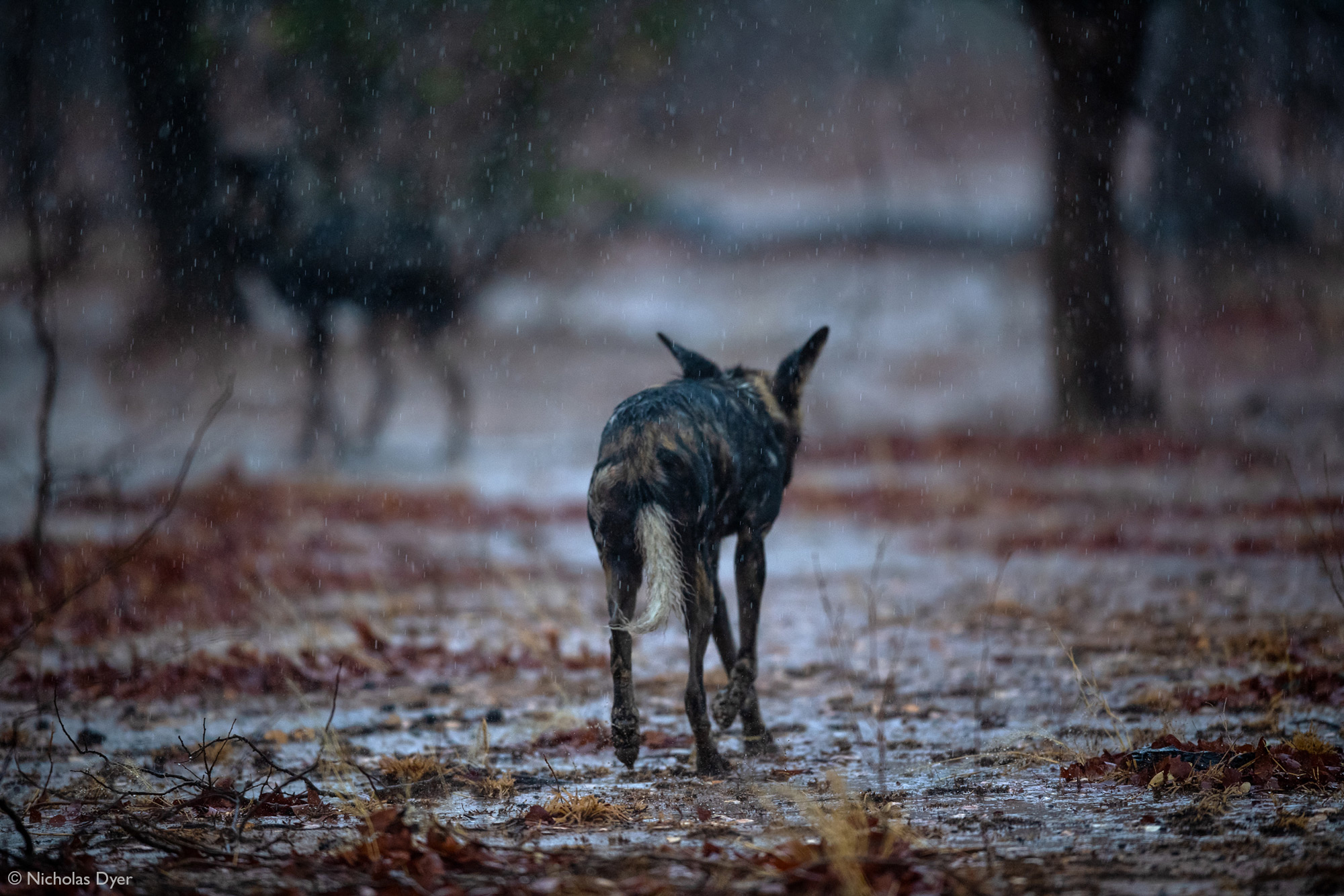 Painted wolves, African wild dogs, walking in the rain in Mana Pools National Park, Zimbabwe