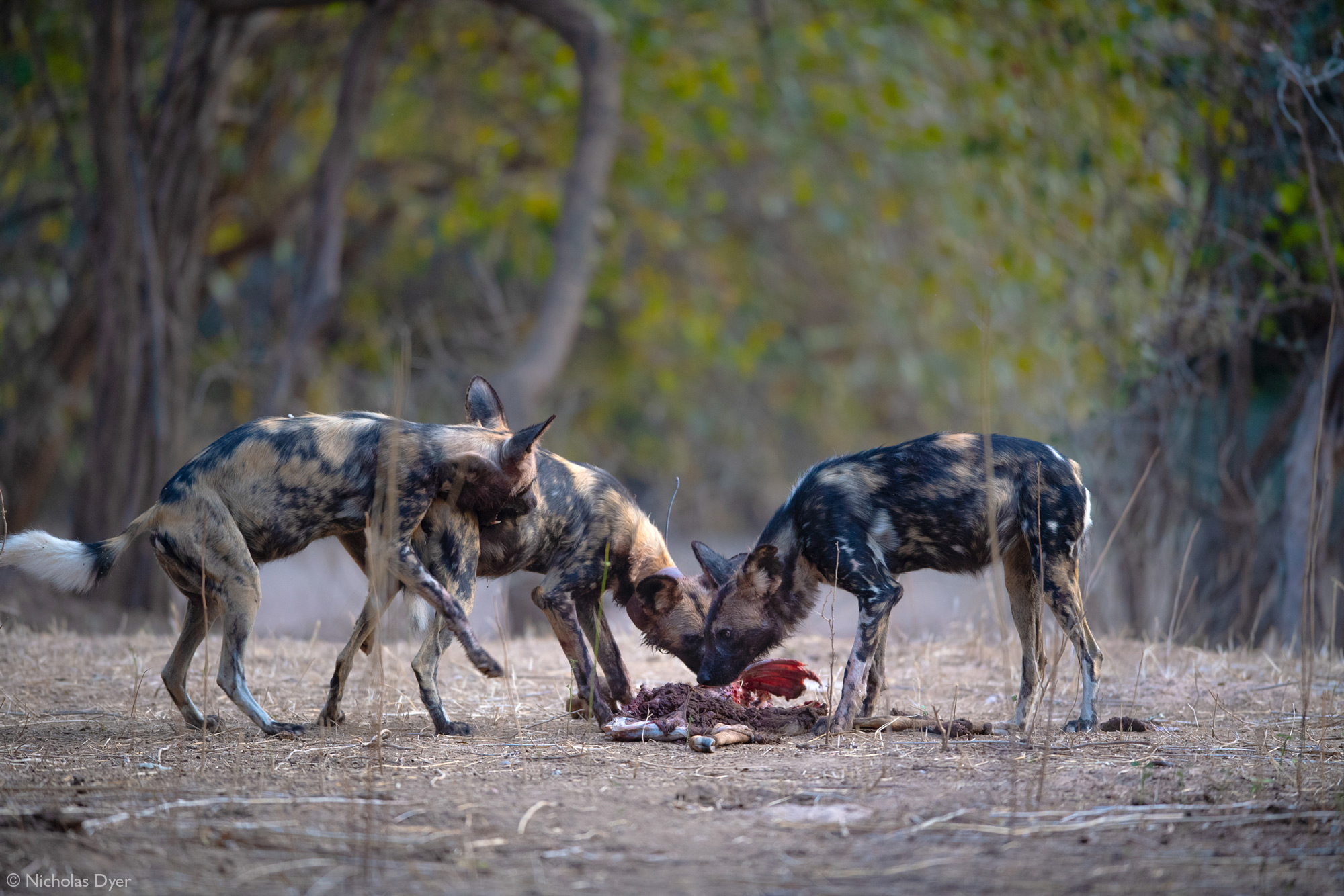 Three painted wolves, African wild dogs in Mana Pools National Park, Zimbabwe
