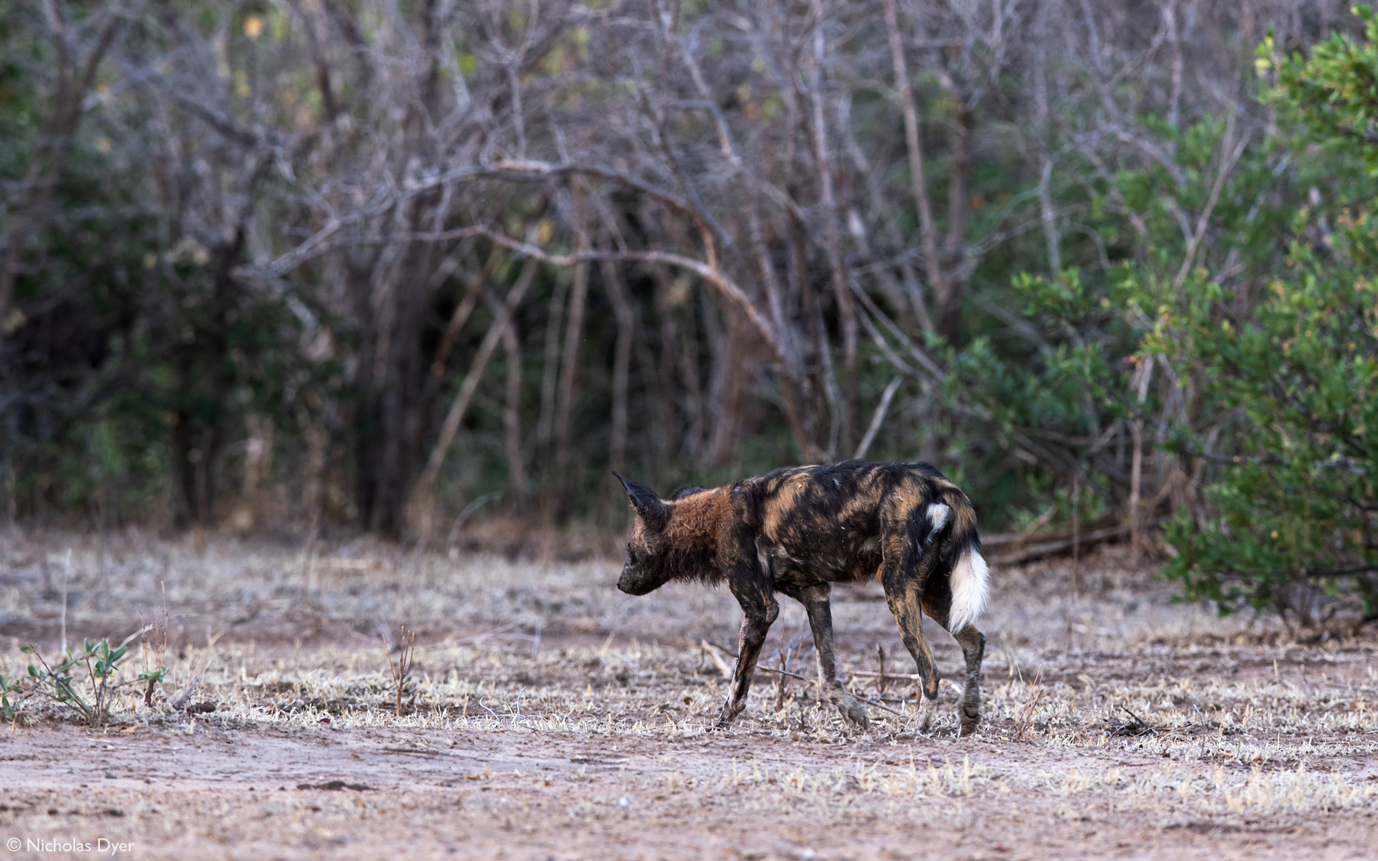 Old painted wolf, African wild dog, walking in Mana Pools National Park, Zimbabwe