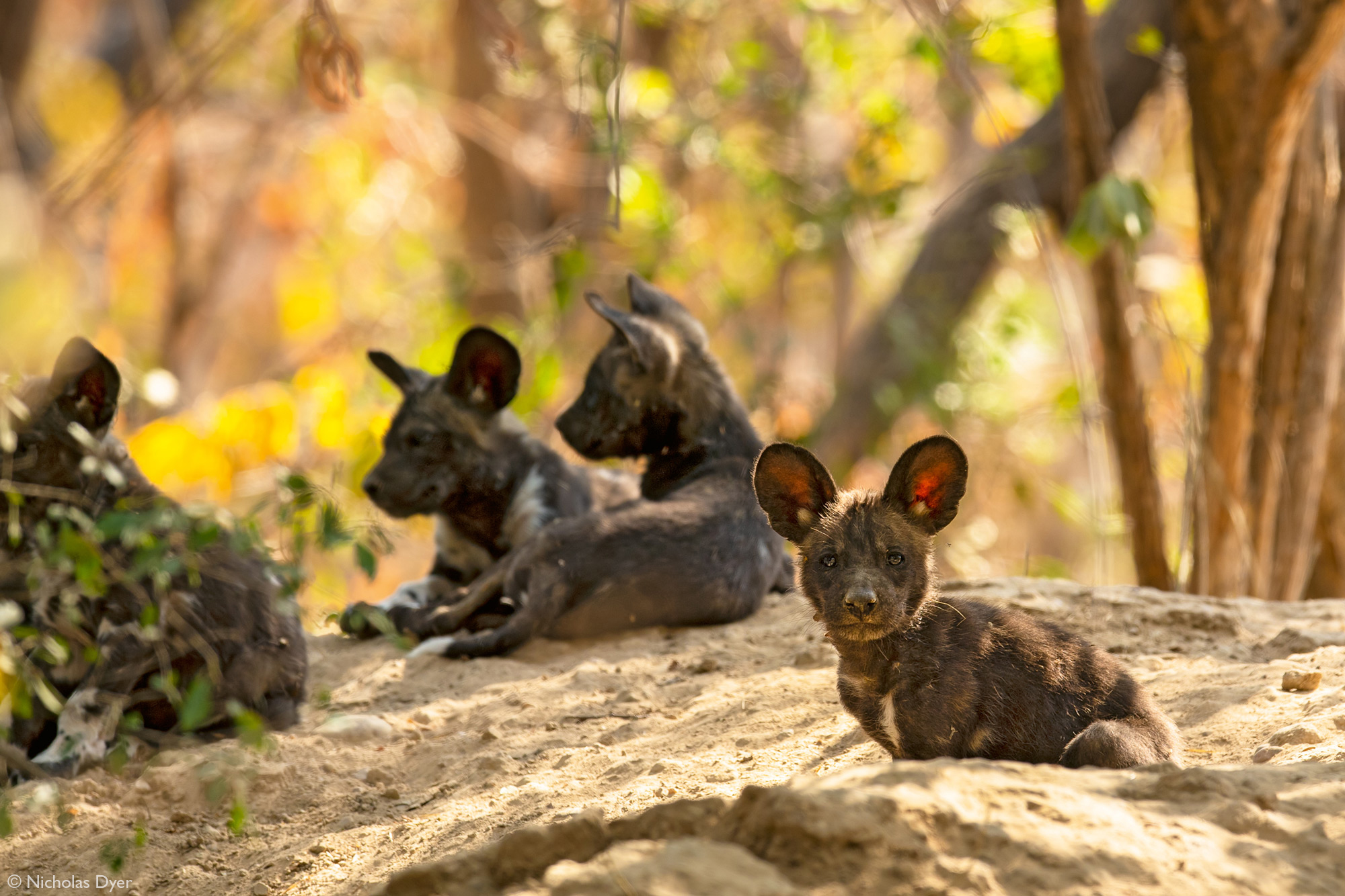 Painted wolf puppies, African wild dog puppies, in Mana Pools National Park, Zimbabwe