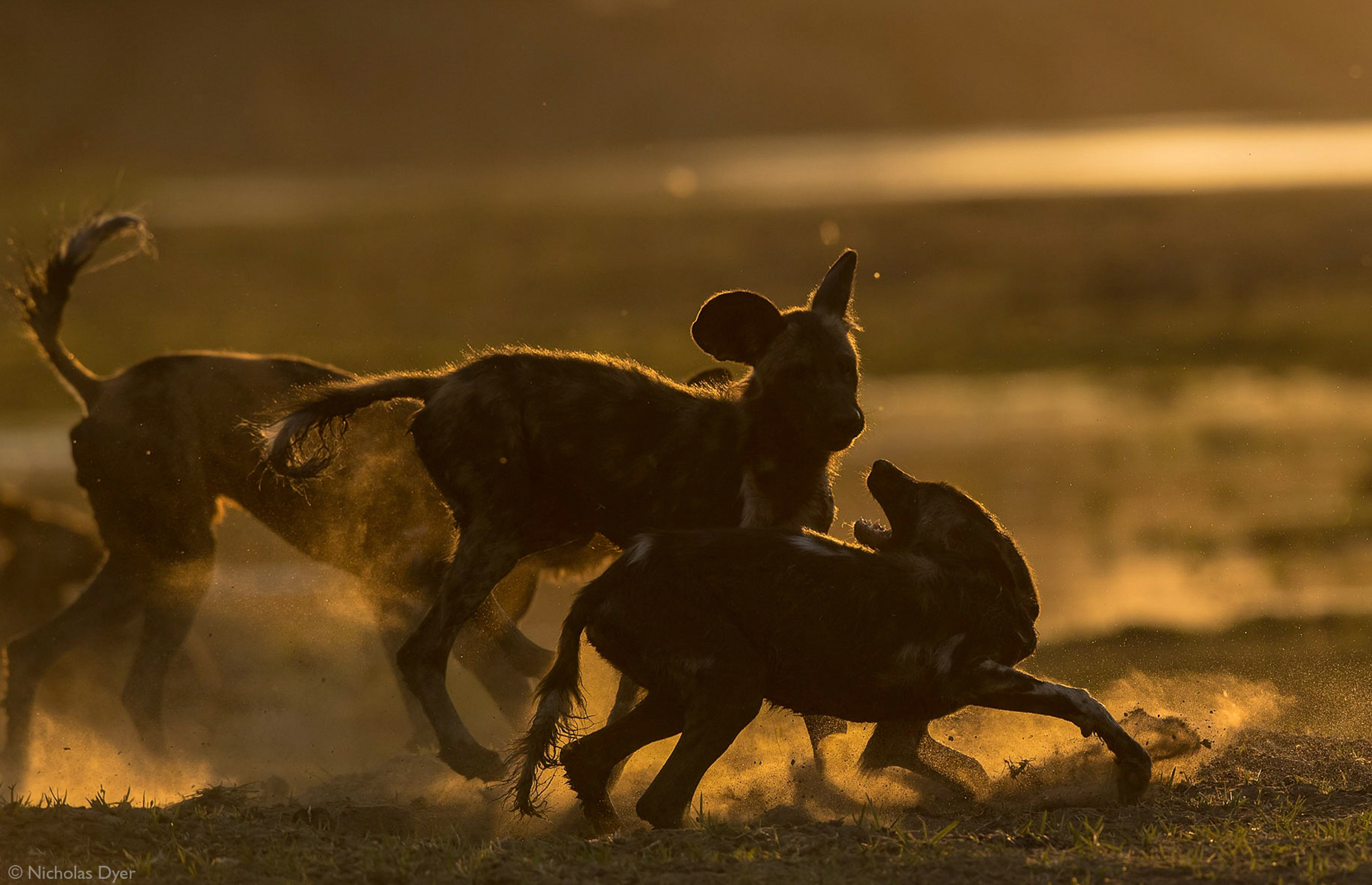 Young painted wolves, African wild dogs, playing at sunset in Mana Pools National Park, Zimbabwe