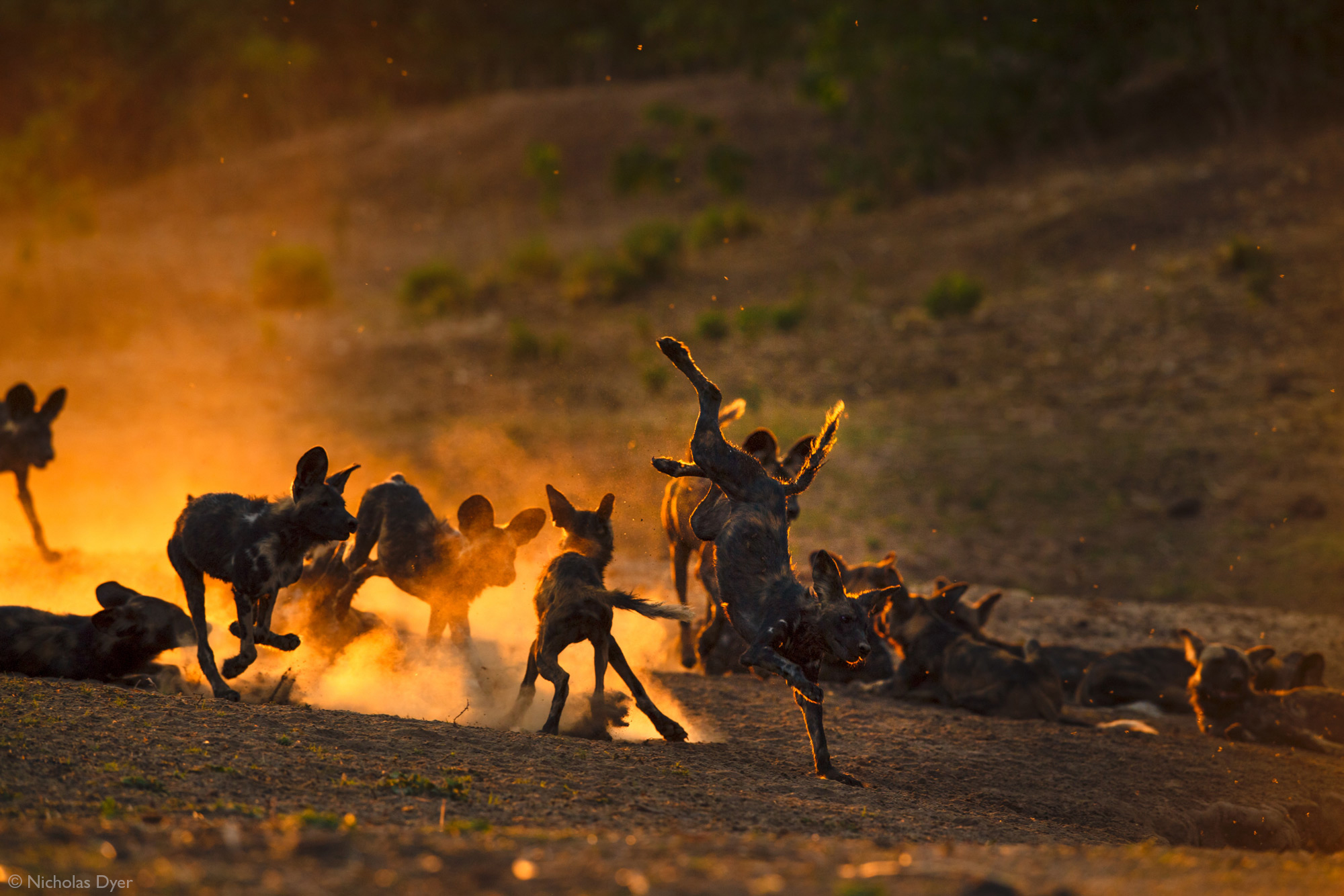 Painted wolves, African wild dogs, playing in the dust at sunset in Mana Pools National Park, Zimbabwe
