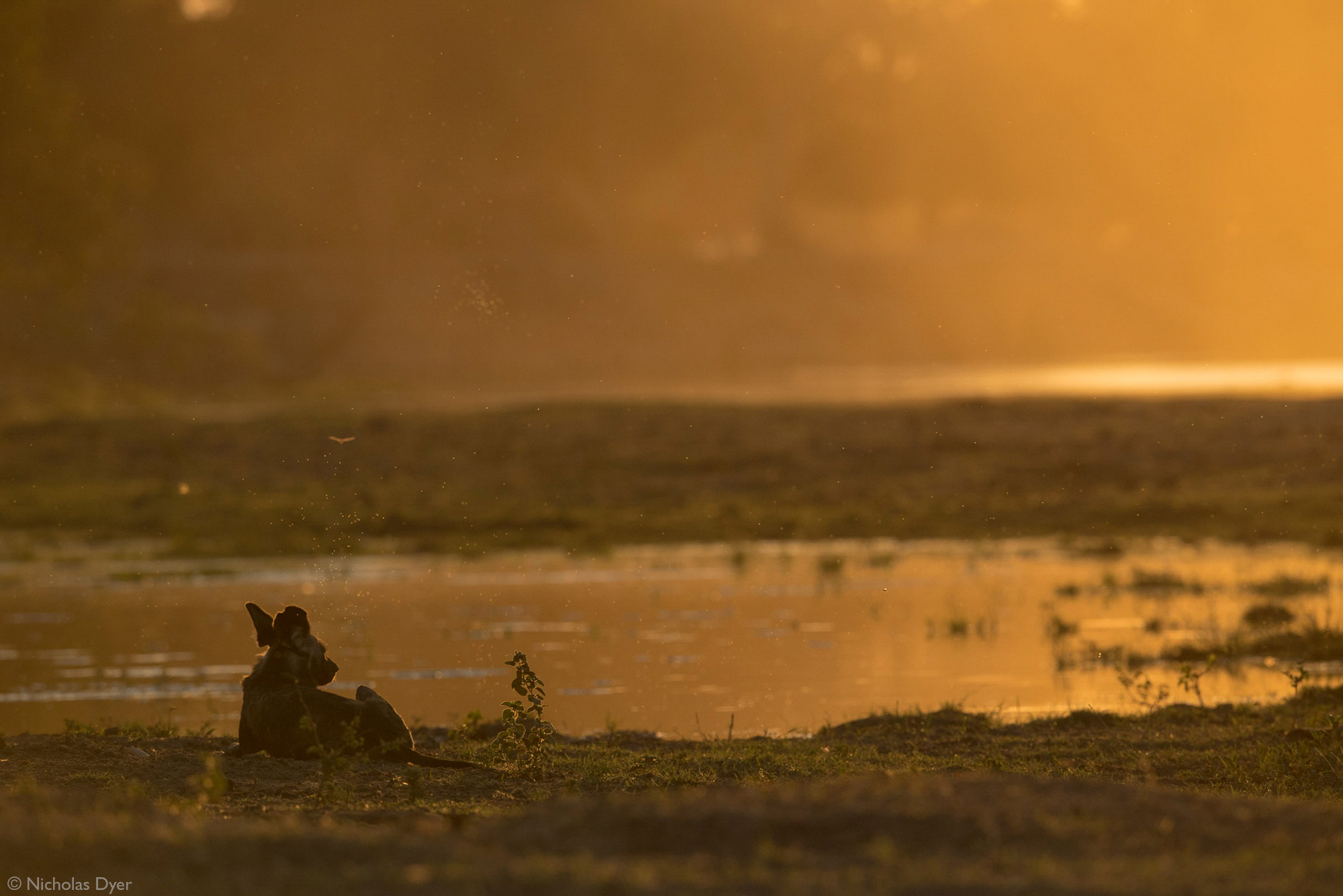 African wild dog, painted wolf, Blacktip sitting by waterhole in Mana Pools National Park, Zimbabwe