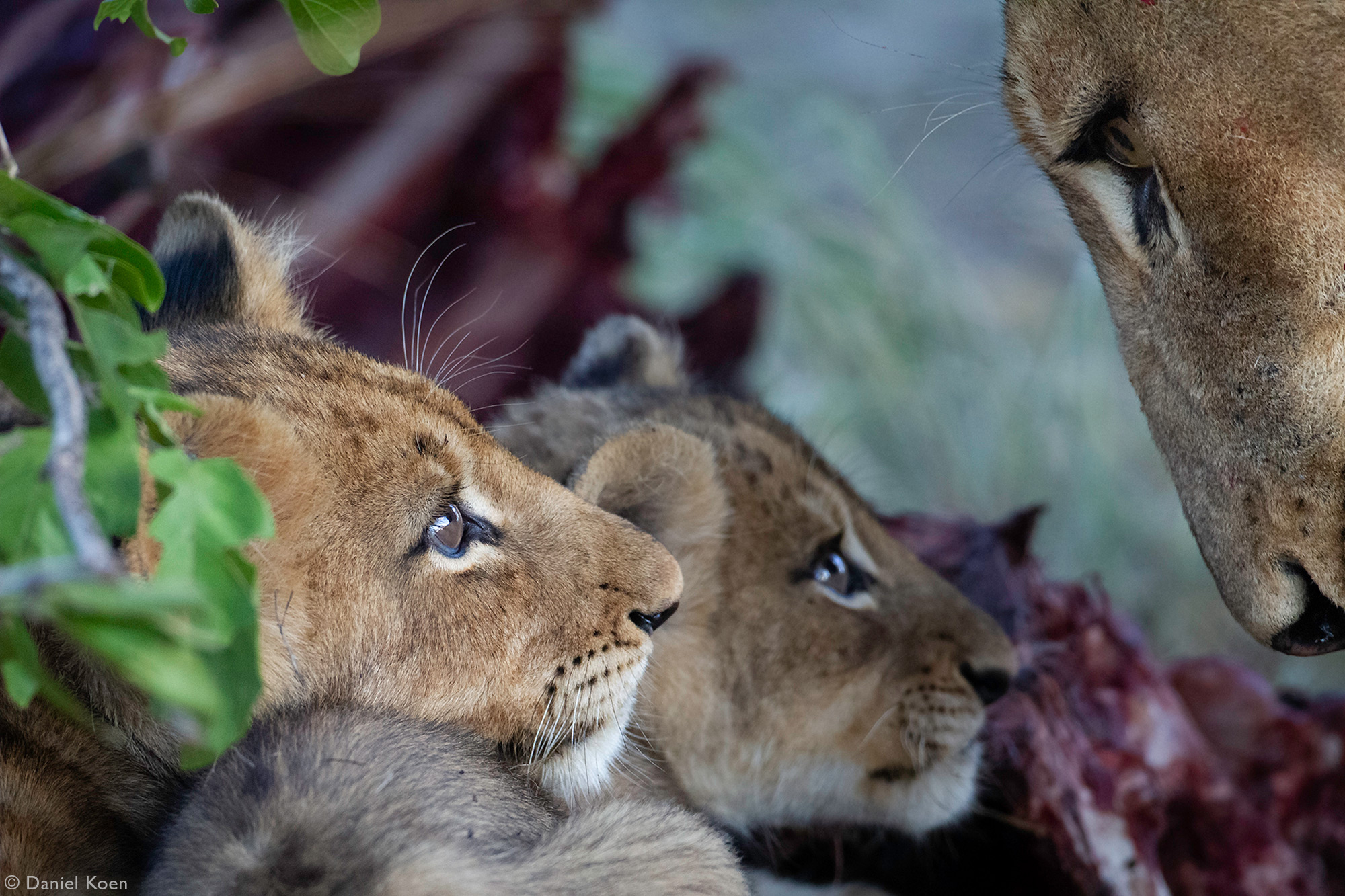 Lion cubs look up at their mother while at a wildebeest kill in Sabi Sands Private Game Reserve, South Africa