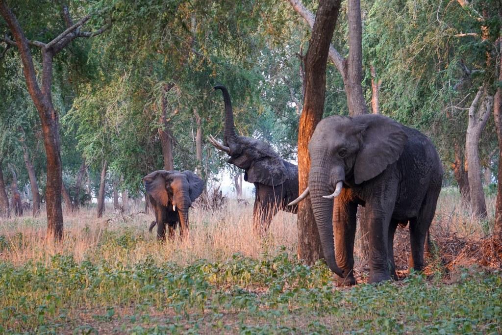 Elephants in Gorongosa National Park, Mozambique
