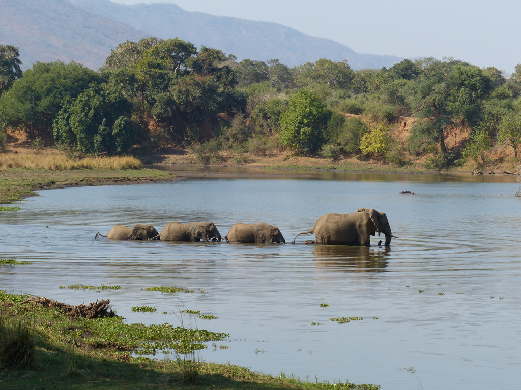 Elephants crossing the Chongwe River