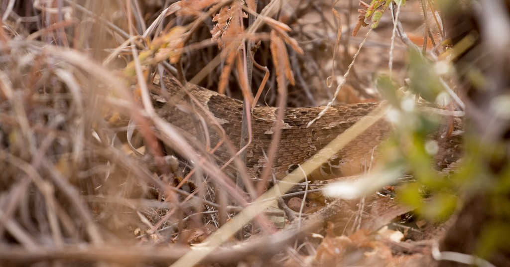 Body of puff adder moving through vegetation