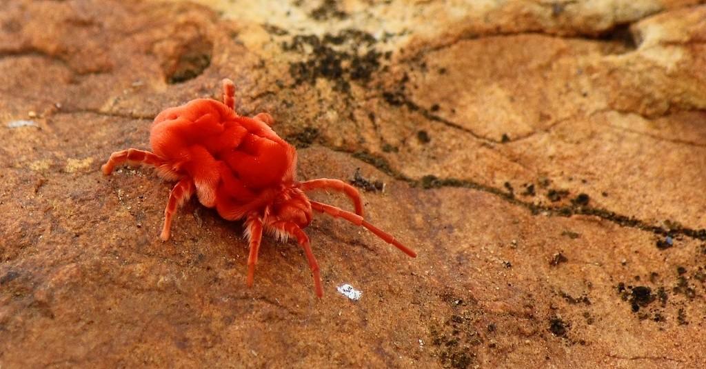 Adult red velvet mite