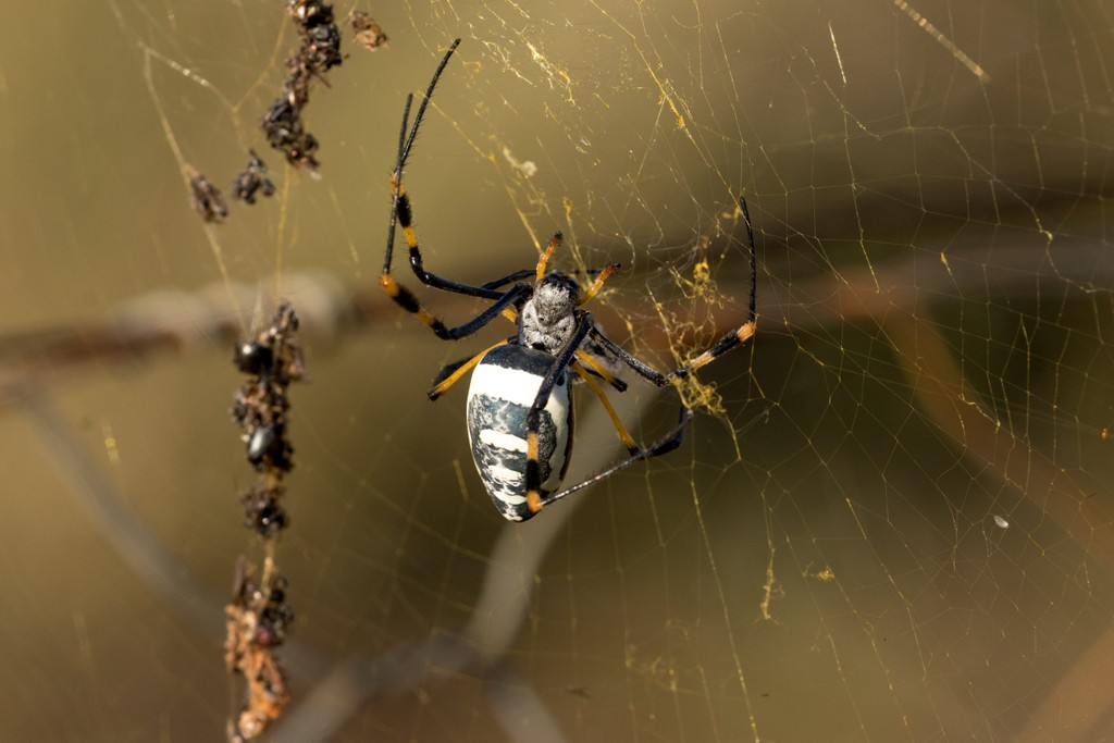 Sunlight catching on the characteristic yellow silk of a female banded-legged nephila