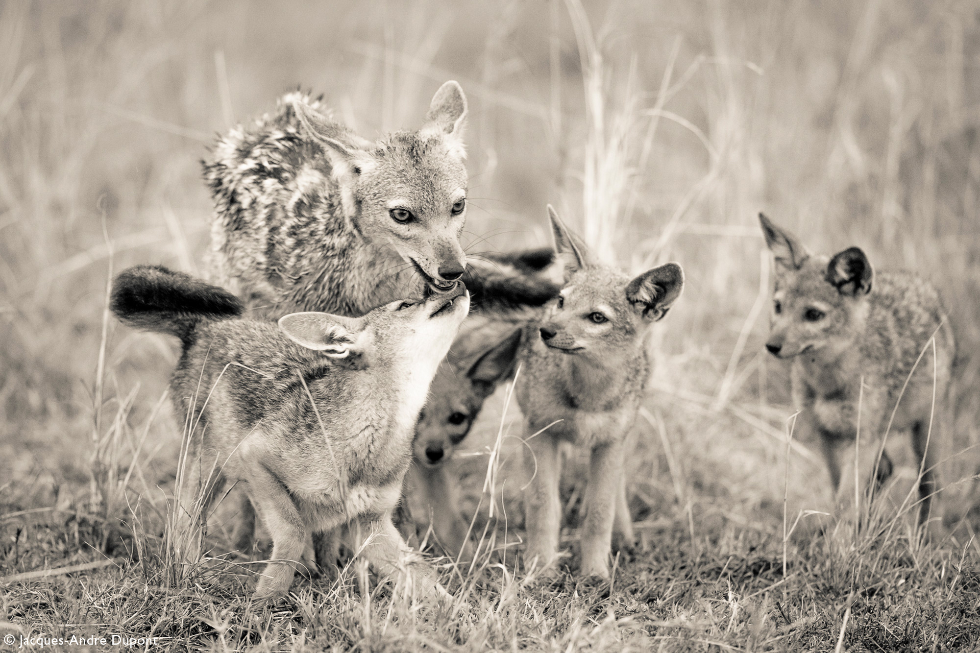 A black-backed jackal is welcomed by pups who are looking to be fed in Mara North Conservancy, Kenya