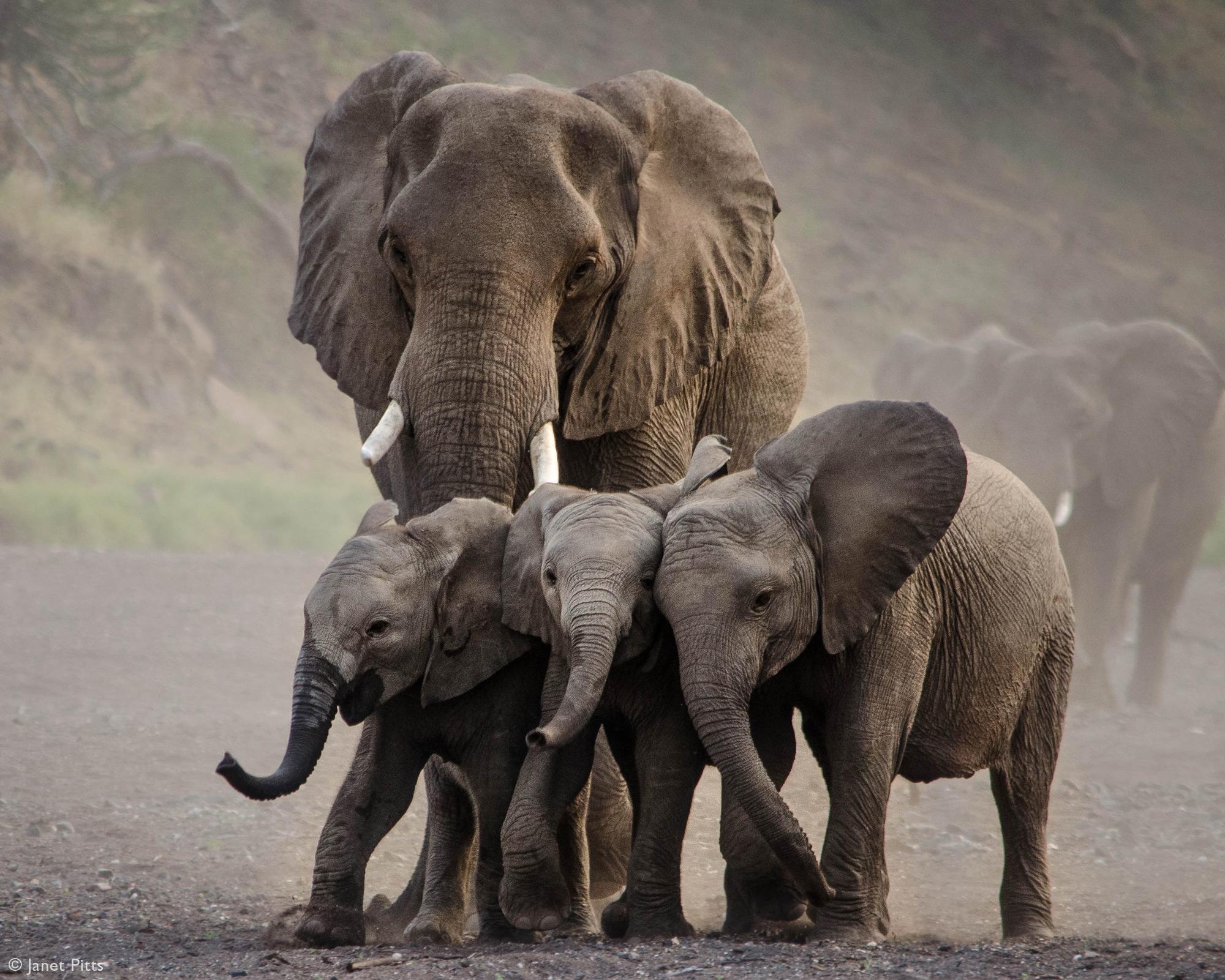 Three elephant calves are herded towards the waterhole in Mashatu Game Reserve, Botswana