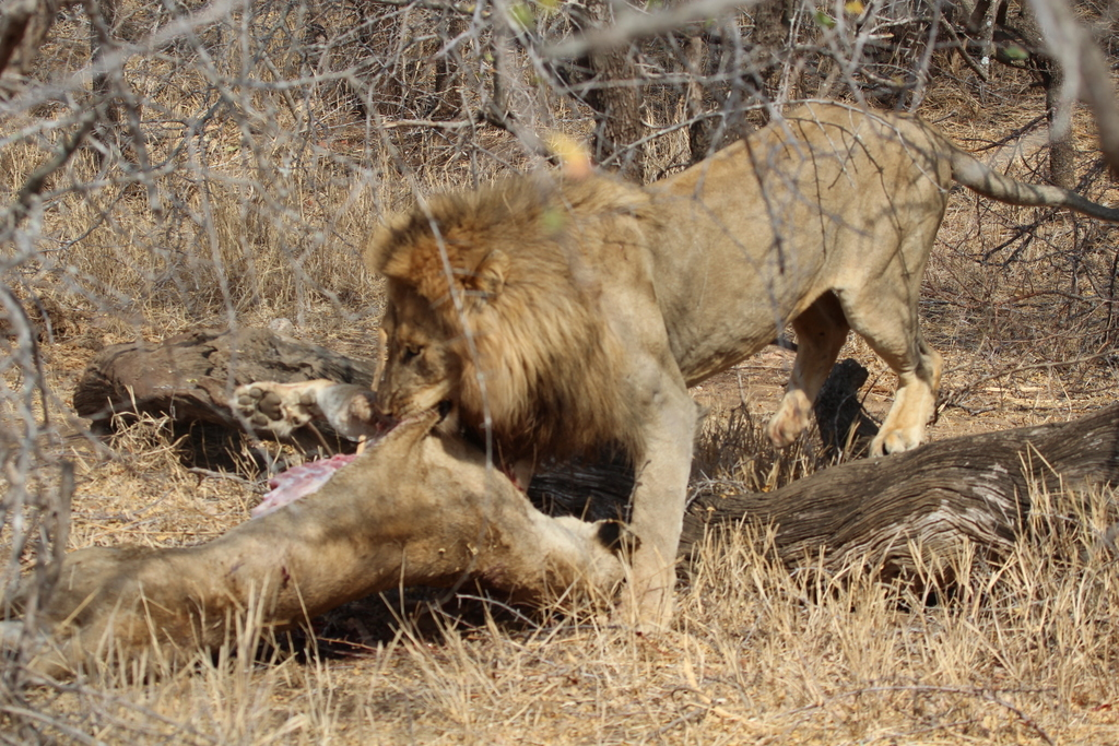 Lion dragging carcass of lioness