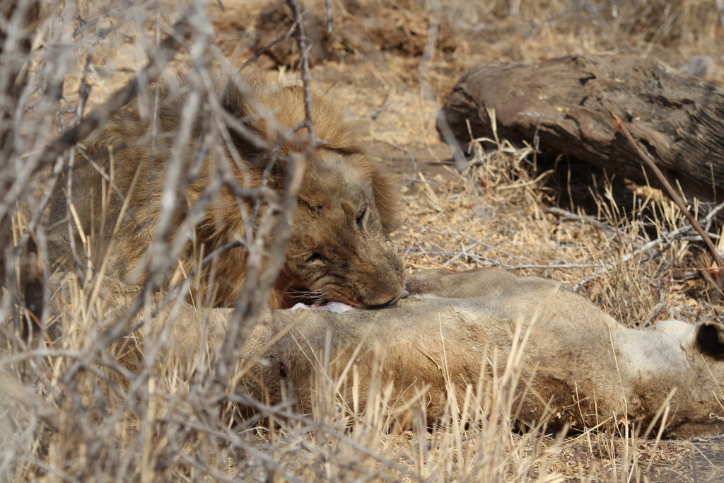 Lion eating carcass of lioness