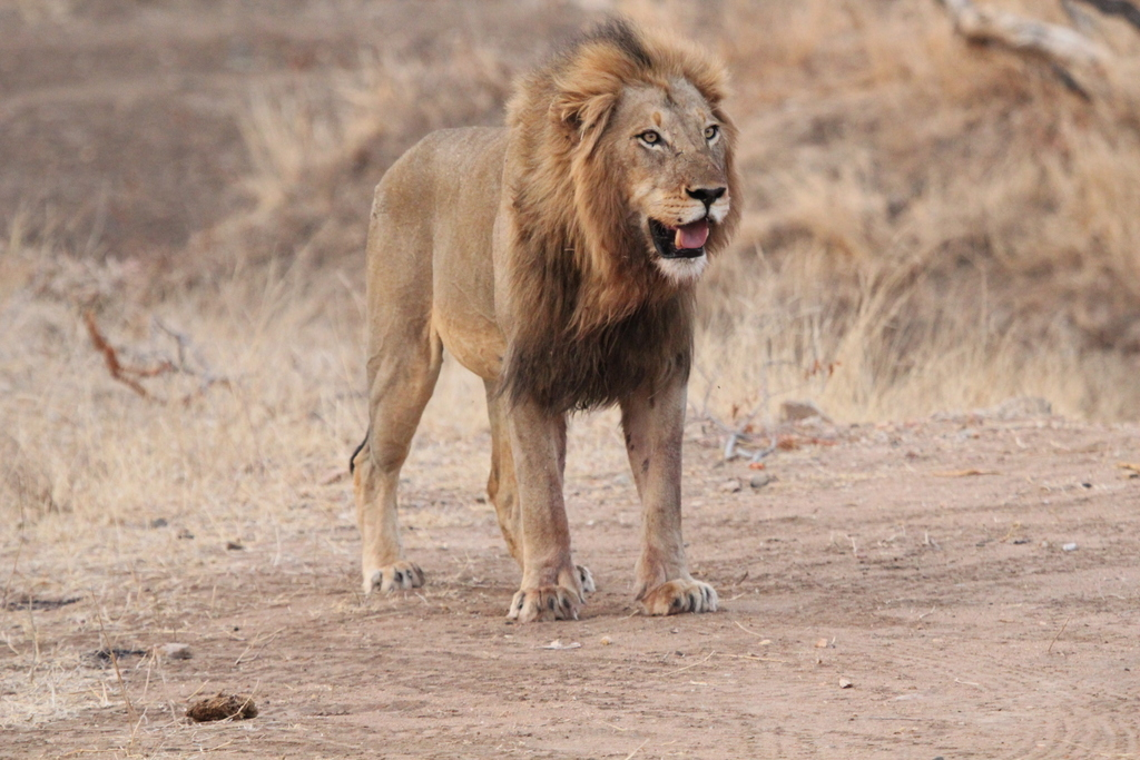 Male lion in Greater Kruger