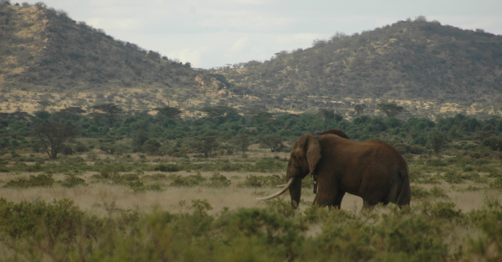 Matt the tusker, bull elephant, in northern Kenya
