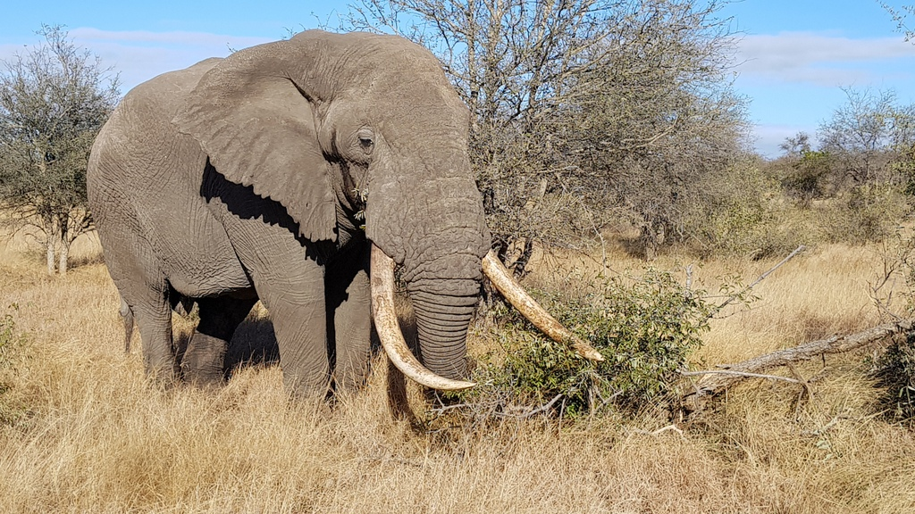 Mature elephant bull in the Greater Kruger