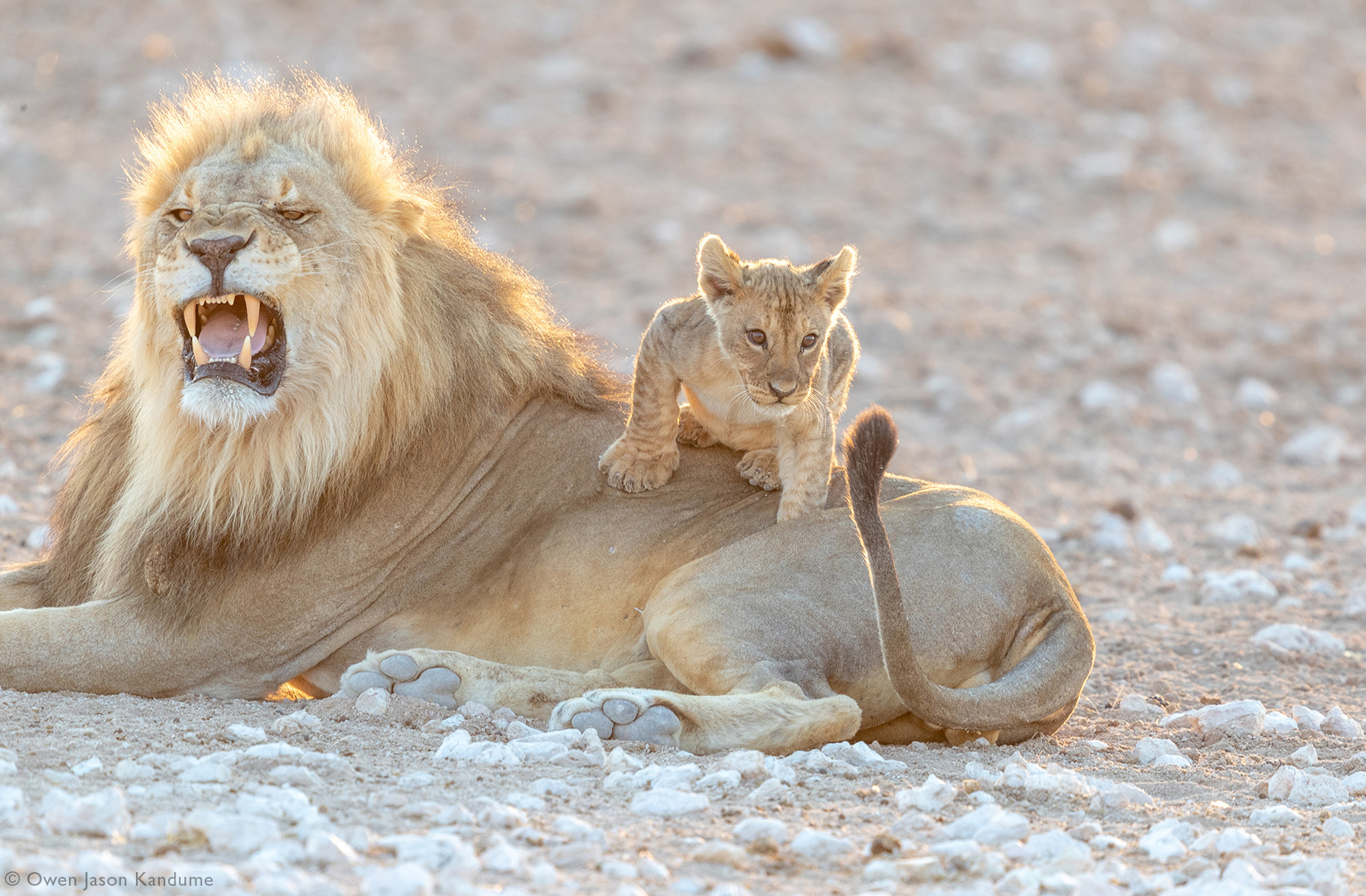A lion cub getting ready to pounce on his father's tail in Etosha National Park, Namibia
