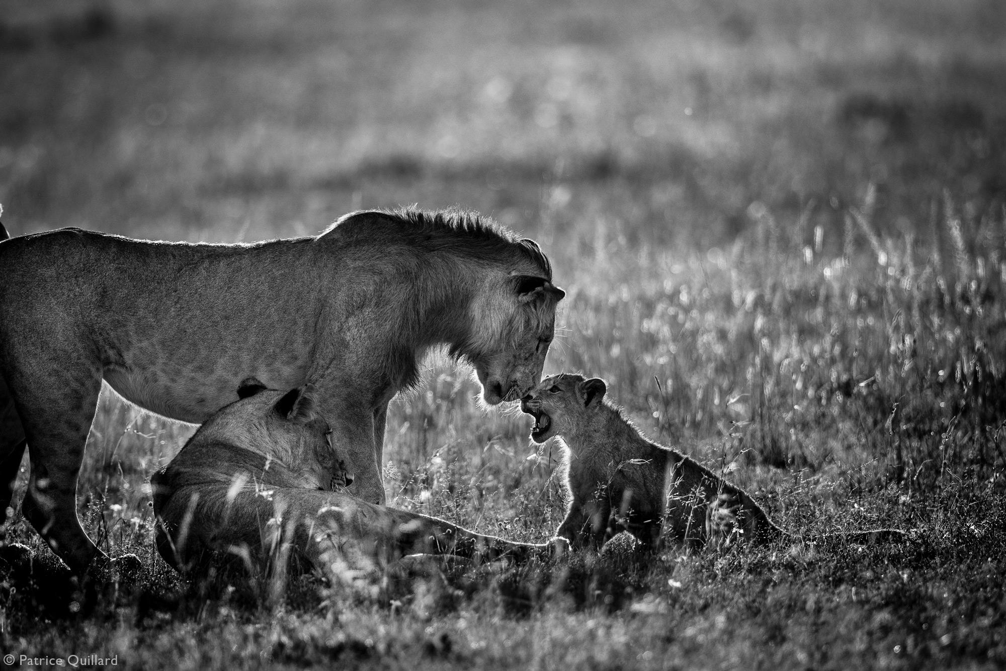 Young lions at play in Maasai Mara National Reserve, Kenya