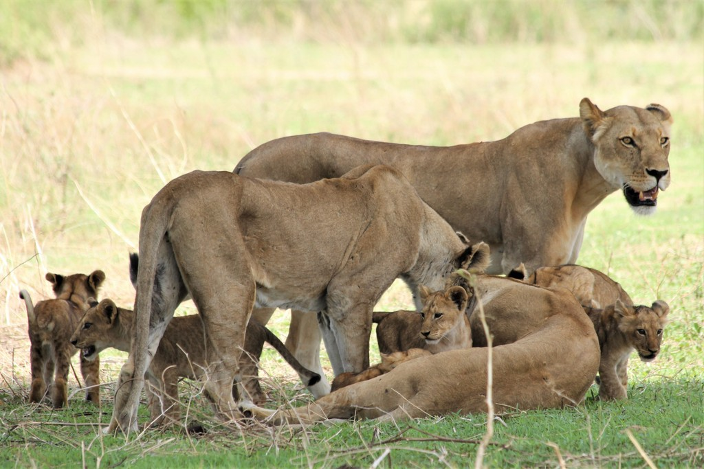 Lionesses with cubs in Ruaha National Park, Tanzania