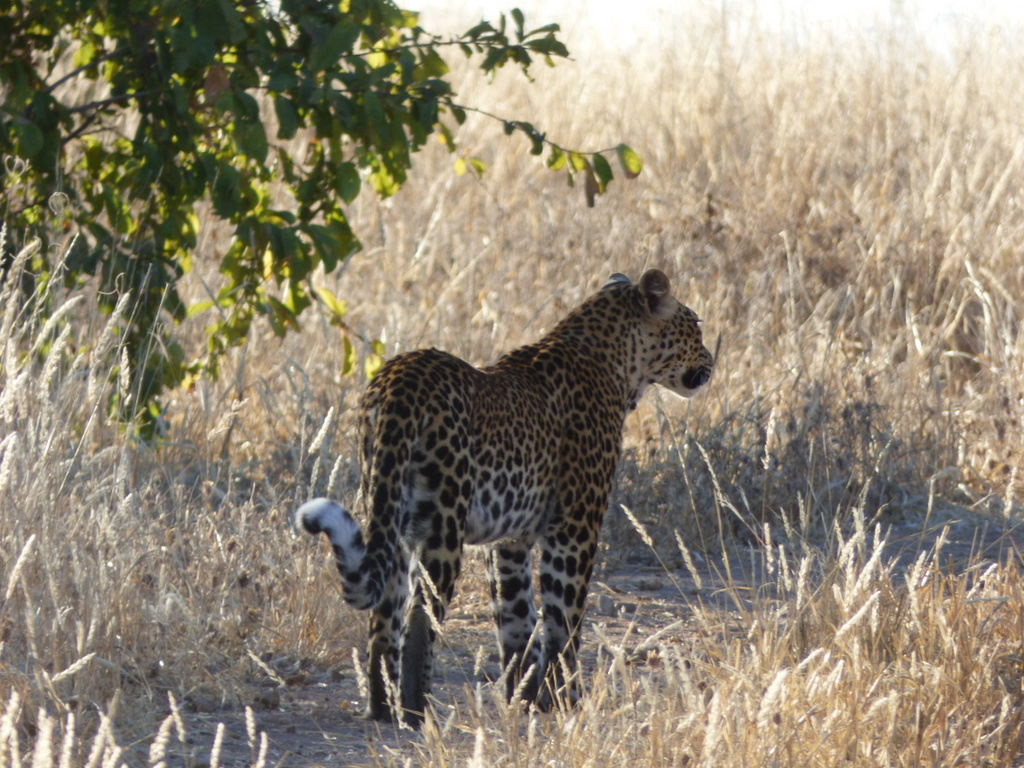 Leopard in Ruaha National Park, Tanzania