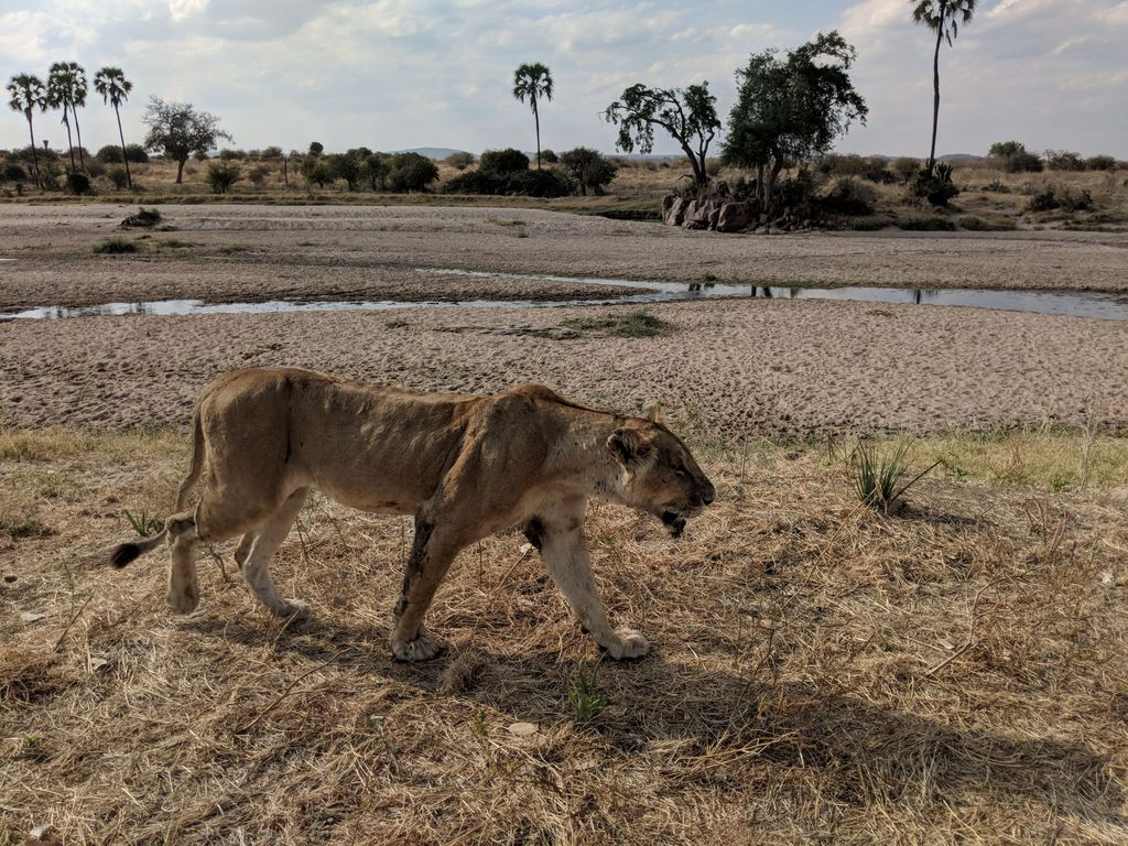 Lioness in Ruaha National Park, Tanzania