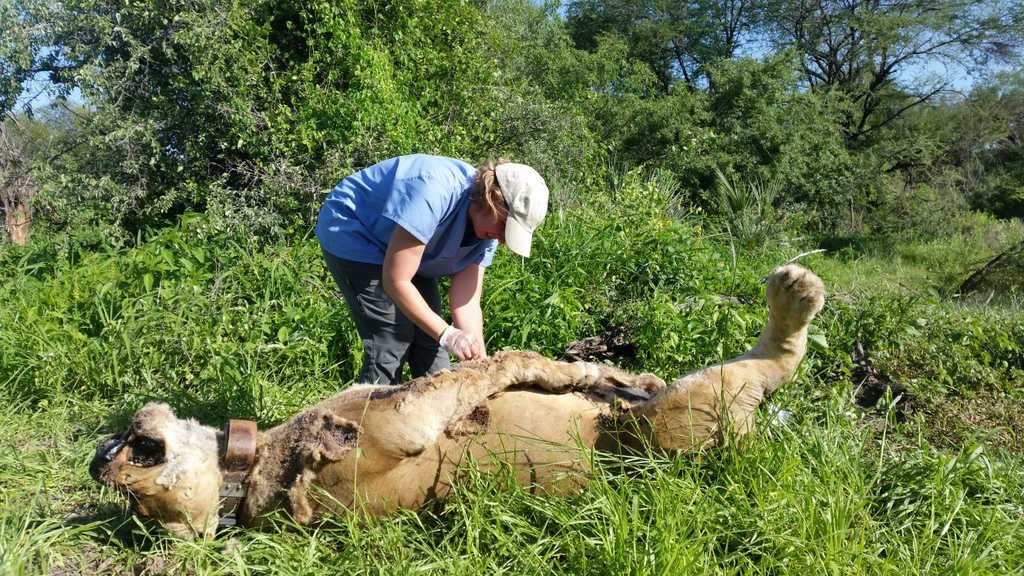 The carcass of a collared lioness, poisoned following conflict with local people in Tanzania