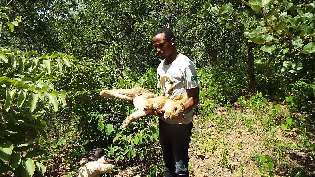 A lion cub speared following conflict with local people in Tanzania