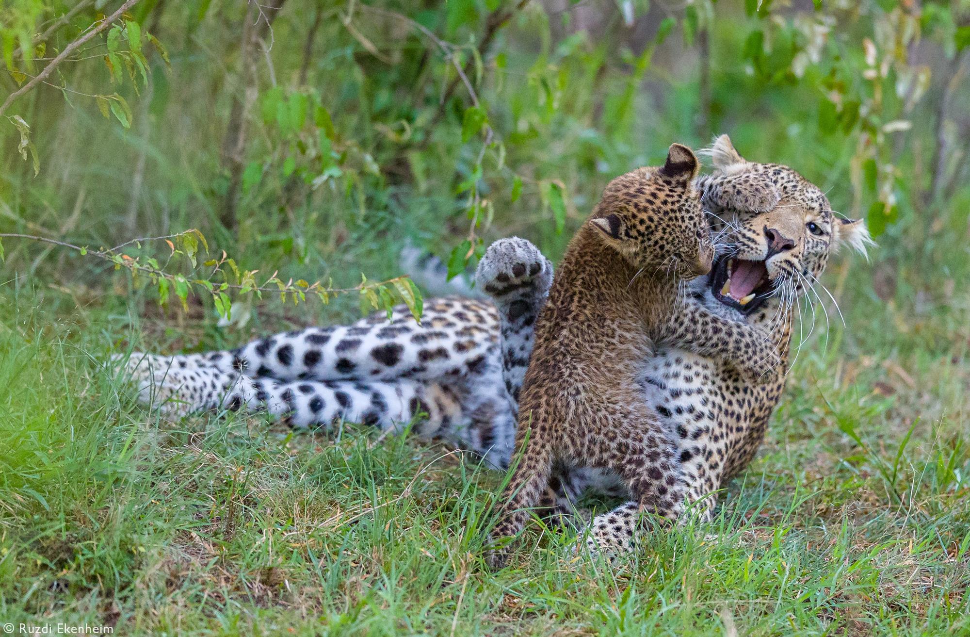 A leopardess and her cub play in Maasai Mara National Reserve, Kenya