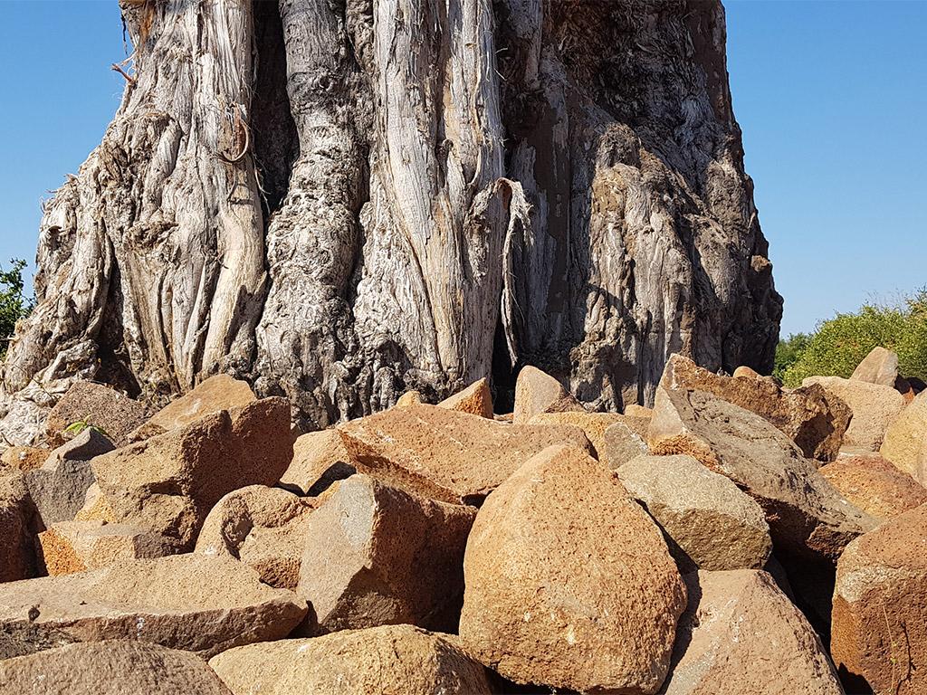 Baobab tree - elephant food