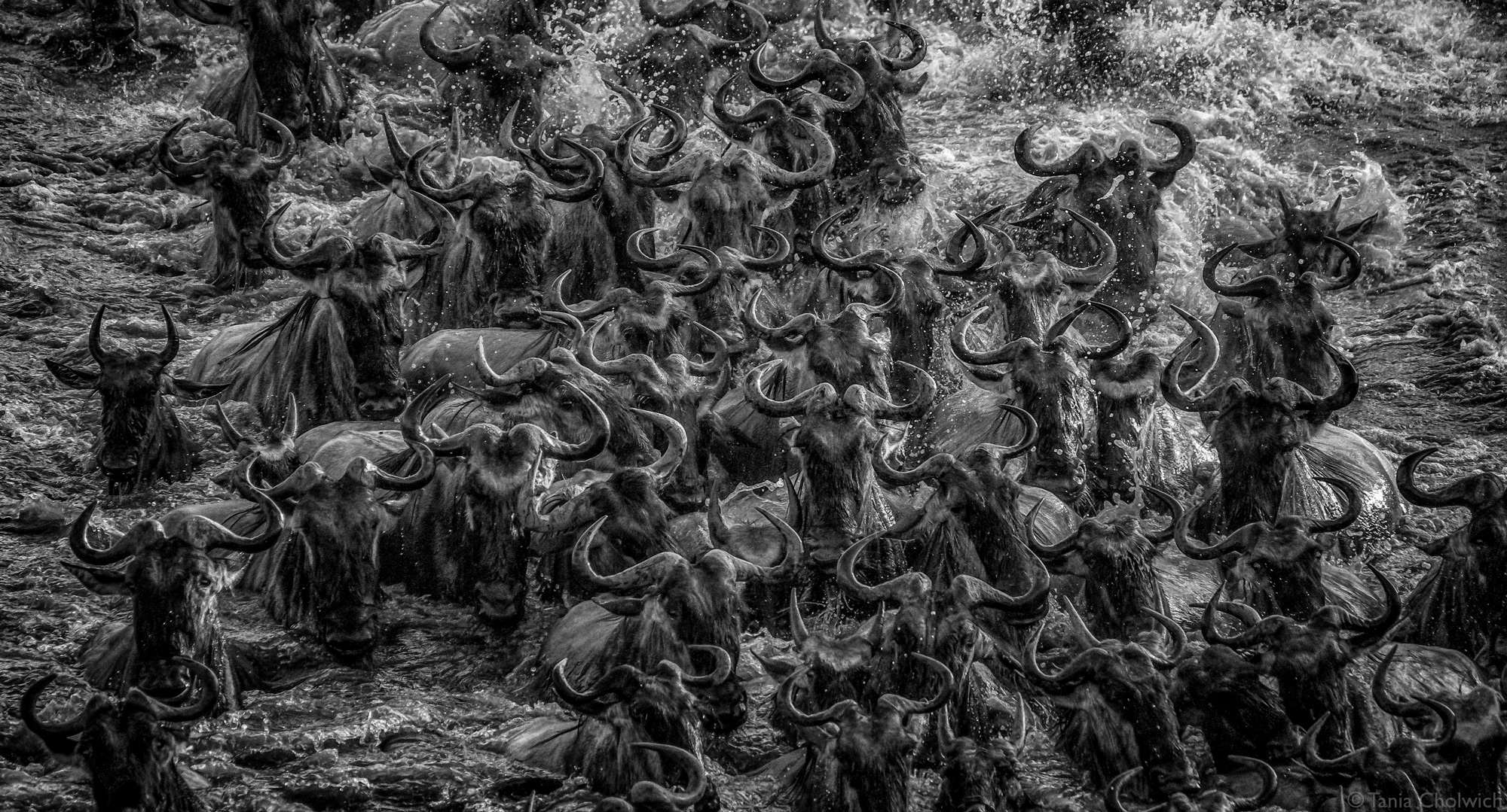 Wildbeest crossing the river in a large group during the Great Migration