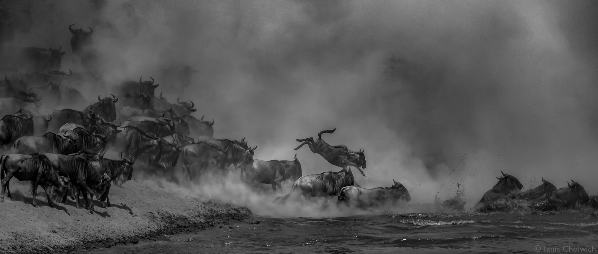 Wildbeest entering the Mara River during the Great Migration