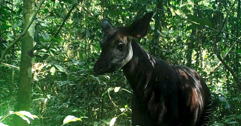 An okapi caught on a camera trap in the Okapi Wildlife Reserve, Democratic Republic of Congo