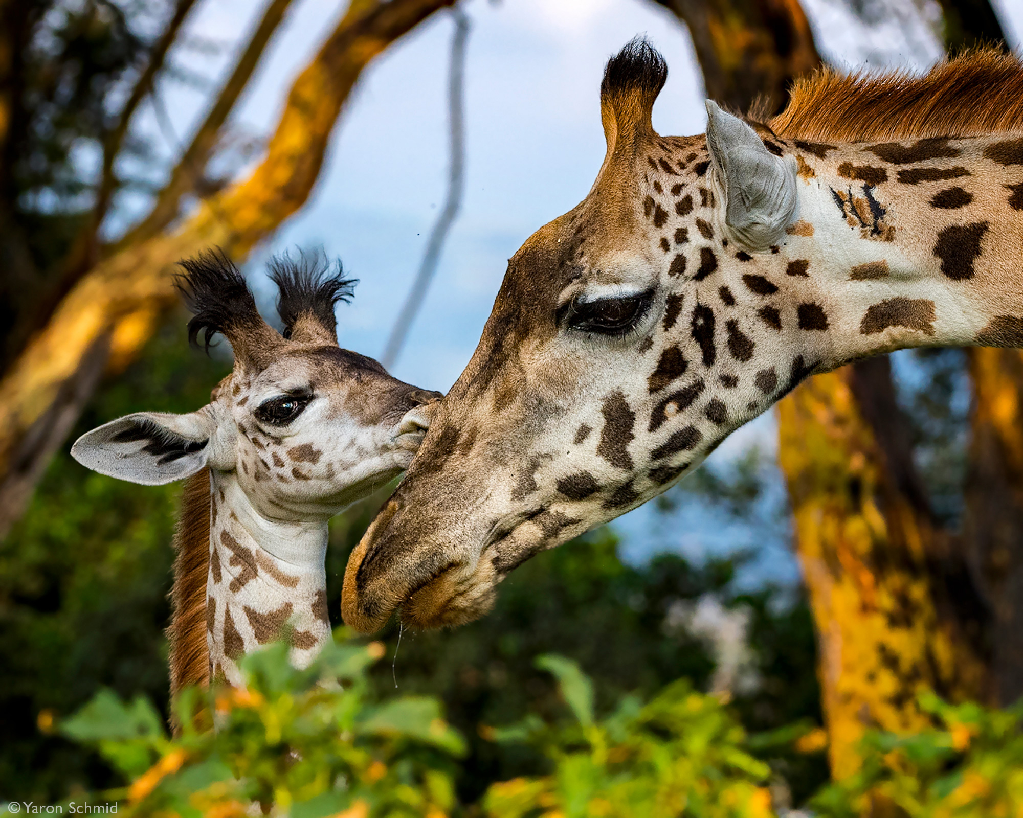 A tender moment between a giraffe and her calf in Naivasha, Kenya