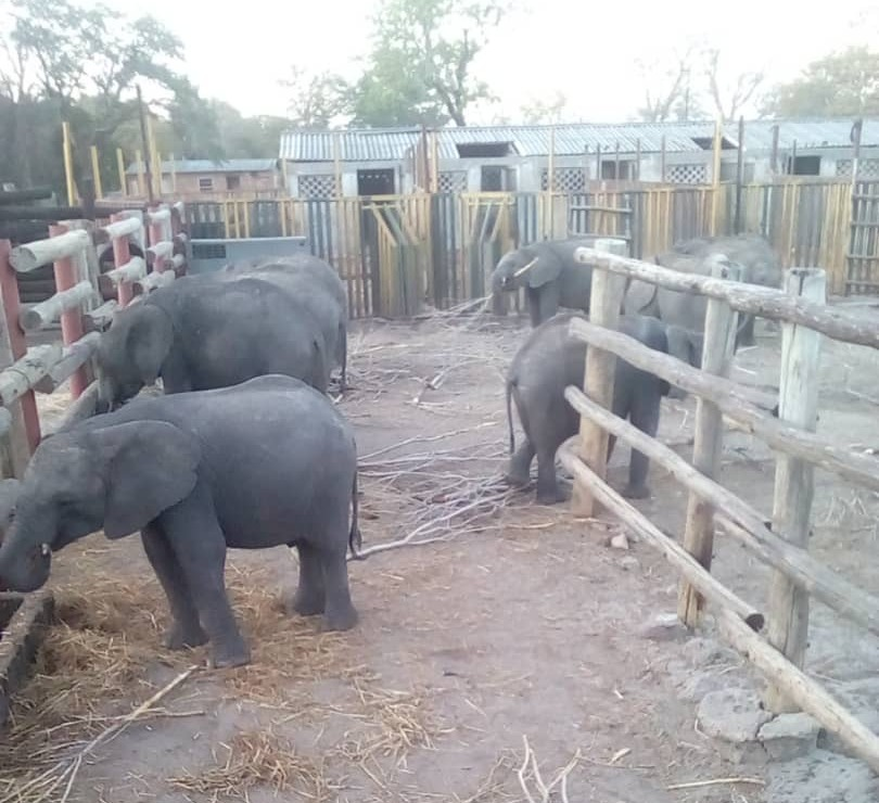 Wild-caught young elephants are held captive in a fenced boma by Zimbabwe authorities awaiting shipment to China