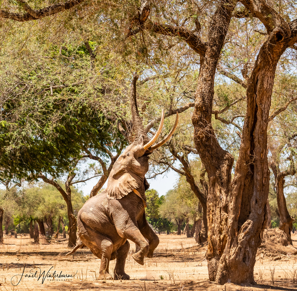 Boswell the elephant standing up in Mana Pools National Park, Zimbabwe