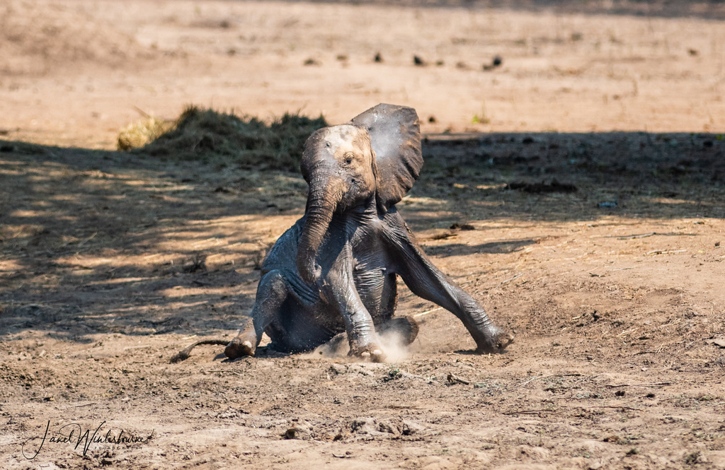 Very small and thin elephant calf in Mana Pools National Park, Zimbabwe